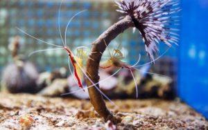 the shrimp clean fish tanks