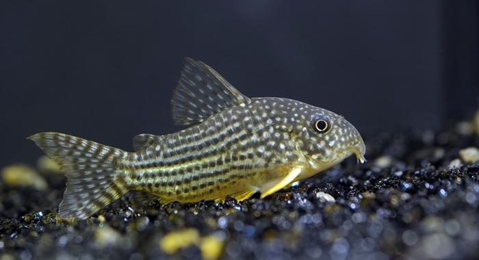 Corydoras Catfish Sterbai