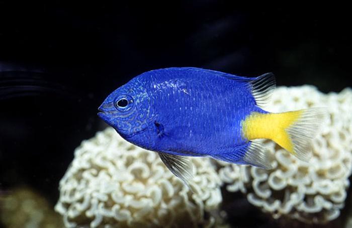 Damselfish blue and yellow small saltwater fish