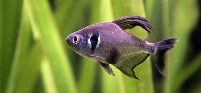Male Black Skirt Tetra