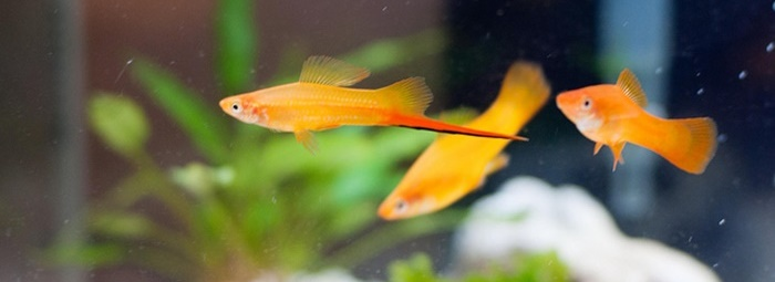 Marigold Swordtails tropical fish