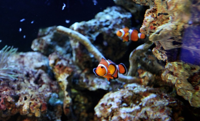 types of clownfish