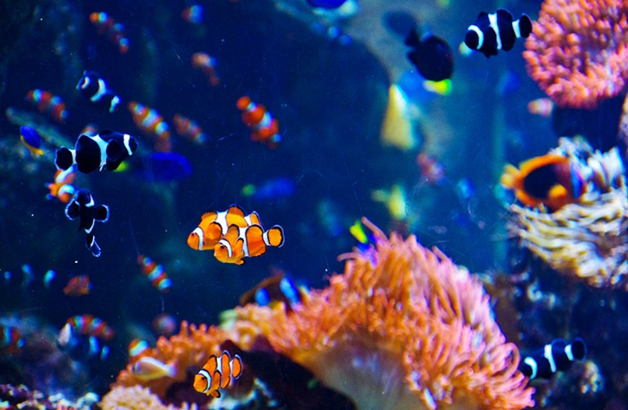 Saddleback clownfish in aquarium