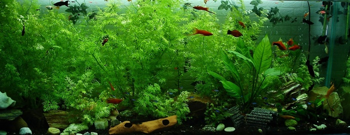 Common types of tropical fish for beginners for Common freshwater aquarium fish