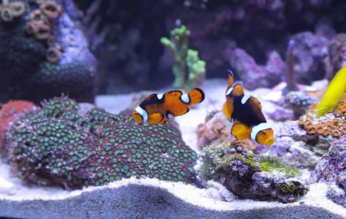 clownfish live rock and corals