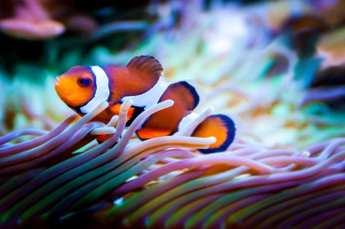 Clownfish on Reef Aquarium