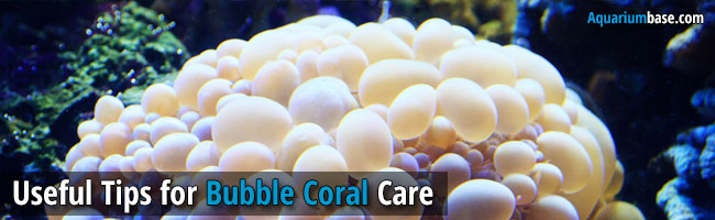 Bubble Coral Care