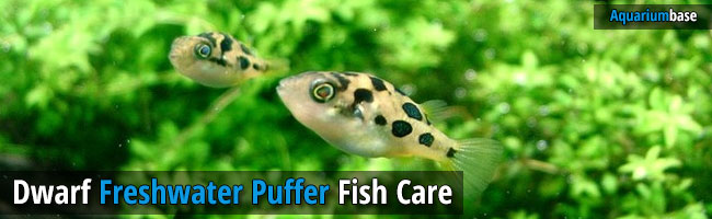 How to care dwarf freshwater puffer fish easily for Freshwater puffer fish care