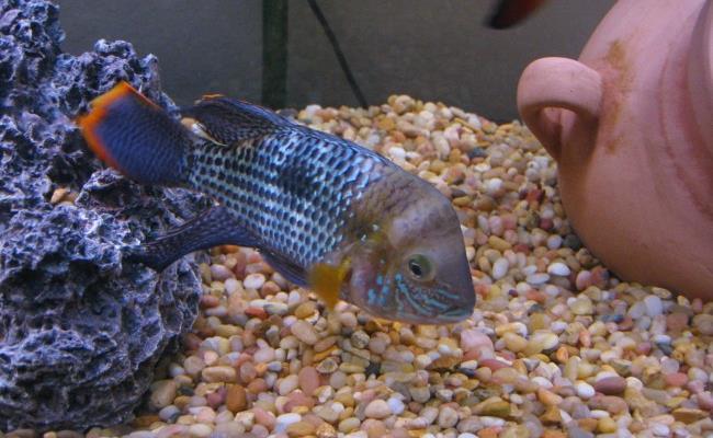 green terror fish