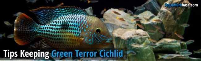green terror cichlid fish