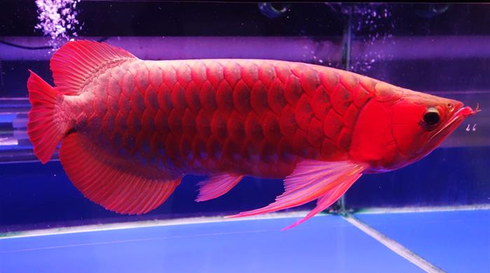 Platinum arowana the most expensive fish in the world for Most expensive saltwater fish