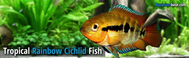 Rainbow Cichlid fish