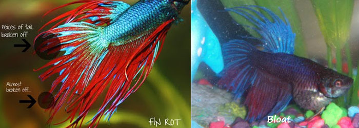 betta fish fin rot pictures