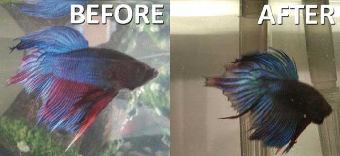 betta diseases tail fin rot