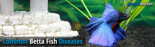 betta fish diseases images