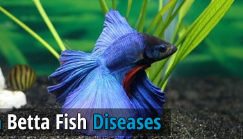 Find out how to prevent the betta fish diseases for What kind of fish can live with a betta
