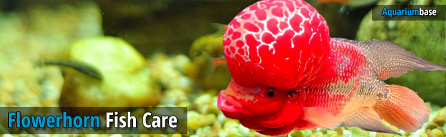 flowerhorn cichlid fish care tips