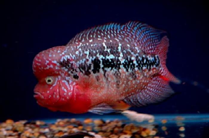 Flowerhorn Cichlid Fish Basics Flowerhorn Care For Beginners