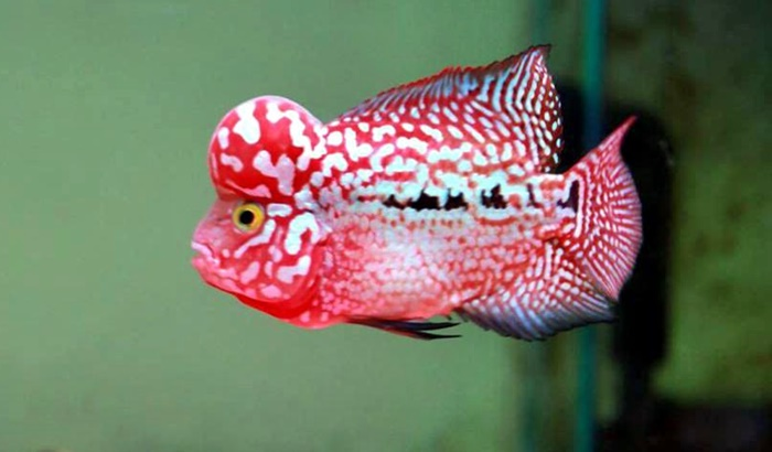 FlowerHorn Cichlid Fish - Basics Flowerhorn Care for Beginners