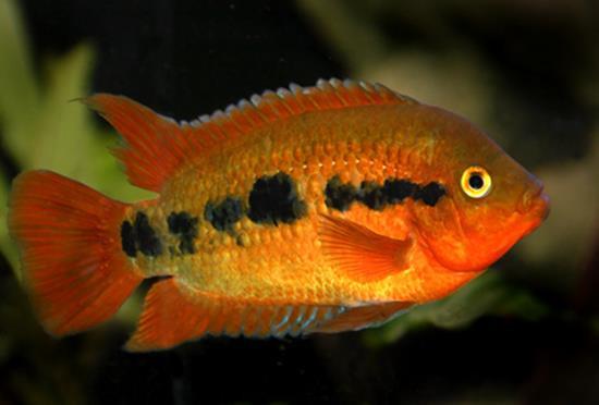 red rainbow cichlids