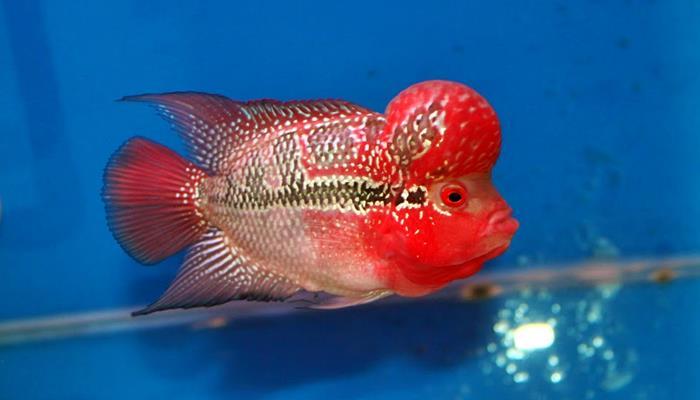 red dragon flowerhorn cichlid fish