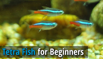 The best tetra fish for beginners for Best beginner fish