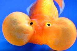 Bubble eye goldfish