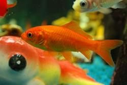 Common Goldfish