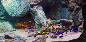 lake malawi aquarium biotope