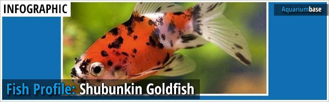 shubunkin goldfish profile