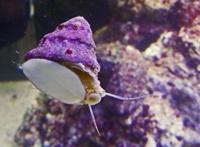 astraea snails