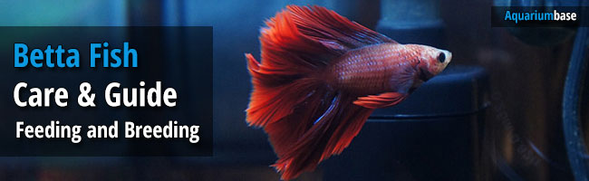 Betta fish care tank mates feeding and breeding for Betta fish care guide