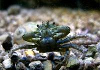 Emerald Mythrax Crab