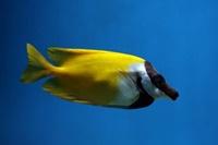 foxface rabbitfish saltwater alga eater