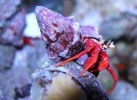 scarlet hermit crabs