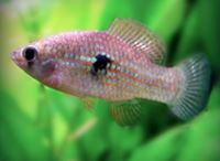 american algae fish eater