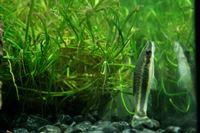 catfish fresheater algae eater