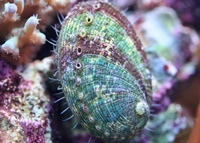 green abalone snail