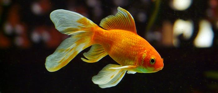 goldfish diseases symptoms
